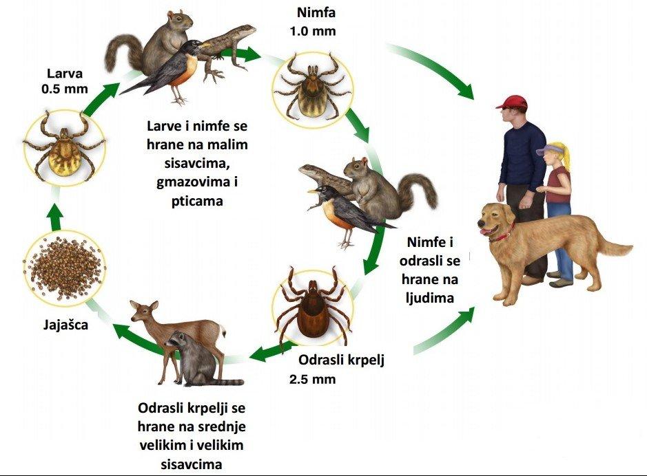 krpelji zivotni ciklus